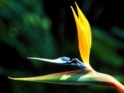 Bird of paradise perla farms