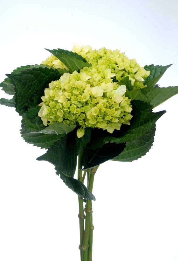 Hydrangeas,wedding Hydrangeas, Wedding Flowers,Perla Farms   680 x 997 jpeg 50kB