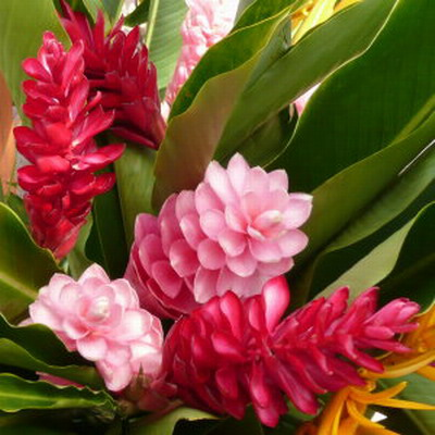 Ginger tropical flowers perla farms