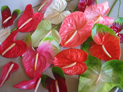 Anthuriums Perla Farms