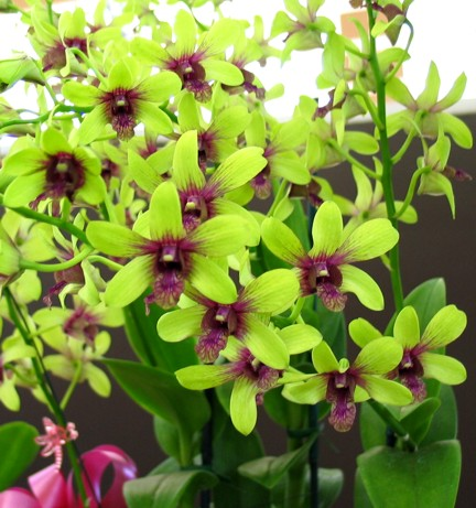 Orchids,Wedding Flowers,Perla Farms,Nationwide Flowers