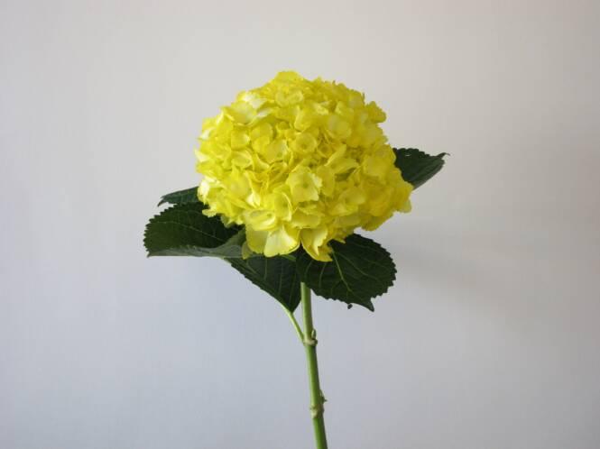 Hydrangeaswedding hydrangeas wedding flowersperla farms yellow hydrangea hydrangea wedding flowers mightylinksfo